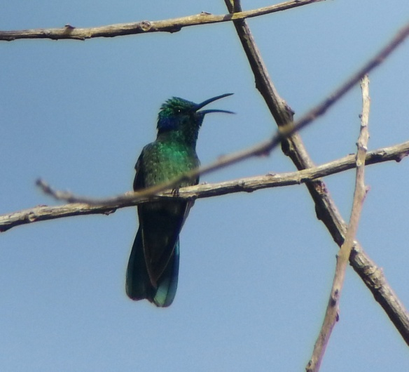 Green Violet Ear Hummingbird. Samsung GT-i9300, 6Feb14@0817hrs, 1/500th second @ f2.6, iso 80, focal length 3.7mm through a Swarovski ATX 95 at 70X. About 250' away, front lighted.